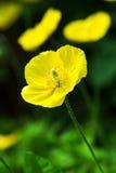 Welsh Poppy Royalty Free Stock Photo