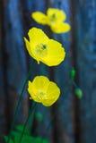 Welsh Poppy Stock Photo