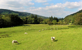 An Welsh Rural Landscape with Grazing Sheep Royalty Free Stock Photography