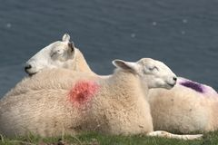 Welsh sheep Stock Photos