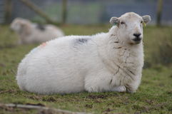 Welsh sheep Royalty Free Stock Images