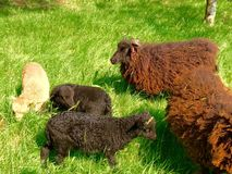 Welsh sheep and lambs Stock Image