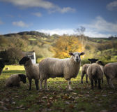 Welsh Sheep Royalty Free Stock Photo