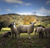 Welsh Sheep. Near Longtown. Herefordshire. UK Royalty Free Stock Photo