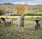 Welsh Sheep. Near Longtown. Herefordshire. UK Royalty Free Stock Photo