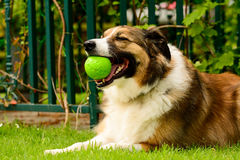 Welsh sheepdog with ball in mouth. Welsh sheepdog laying down in garden with tennis ball in mouth Stock Photos