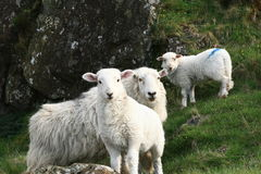 Welsh sheeps. Looking to camera Royalty Free Stock Photo