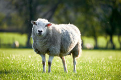 Welsh sheeps in Brecon Beacons National Park Stock Photography