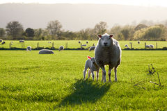 Welsh sheeps in Brecon Beacons National Park Royalty Free Stock Photos