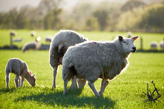 Welsh sheeps in Brecon Beacons National Park Royalty Free Stock Images