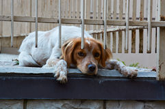 Welsh Springer Spaniel bright red hunting dog lies on the ground. And sad near iron bars Stock Image