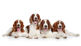 Welsh springer spaniel dogs Stock Photography