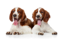 Welsh Springer spaniel dogs Stock Photos