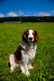 Welsh Springer Spaniel on a meadow. Summer meadow in the mountains Stock Image