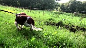 Welsh springer spaniel puppy experiencing cows stock footage
