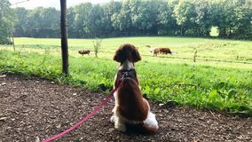 Welsh Springer Spaniel puppy on the leash Royalty Free Stock Photos