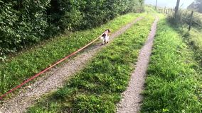 Welsh springer spaniel puppy on the leash stock video footage