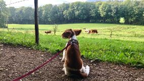 Welsh Springer Spaniel puppy on the leash Stock Photos