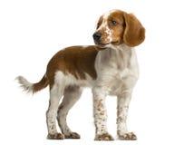 Free Welsh Springer Spaniel Standing Stock Photo - 63257060