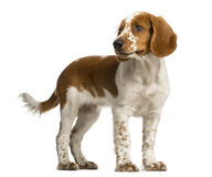 Welsh Springer Spaniel standing Stock Photo