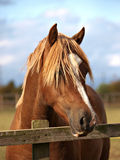 Welsh Stallion Head Shot Stock Photo
