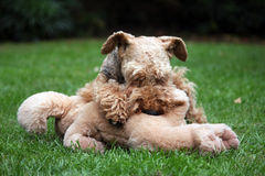 Welsh Terrier. Pretty Welsh Terrier laying on the grass and attacking her soft toy dog Royalty Free Stock Photography