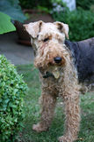 Welsh Terrier. Dog standing amongst the shrubs Royalty Free Stock Photography