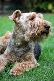 Welsh Terrier. Dog laying on the grass Royalty Free Stock Image