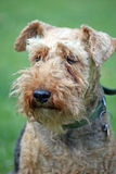 Welsh Terrier. Portrait of a very pretty Welsh Terrier dog Stock Image