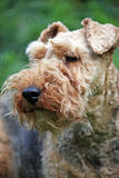 Welsh Terrier. Portrait of a very pretty Welsh Terrier in close up Stock Image