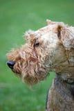 Welsh Terrier Stock Image