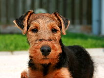 Welsh Terrier Asta Royalty Free Stock Images