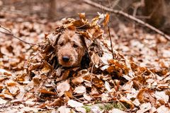 Welsh Terrier. In autumn leaves Stock Photography