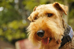 Welsh Terrier Canine Stock Photos