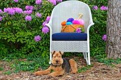 Welsh terrier con il canestro del filato Fotografia Stock