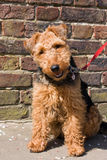Welsh Terrier Dog Royalty Free Stock Photo