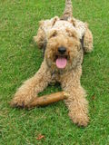 Welsh Terrier dog. Playing with a big stick on green grass Royalty Free Stock Photo
