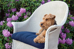 Welsh terrier in garden Royalty Free Stock Photo