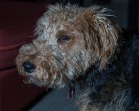 Welsh Terrier head close up shot indoors stock image