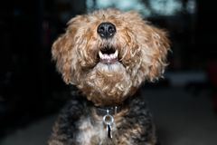 Welsh Terrier head close up shot showing his teeth indoors royalty free stock photography