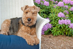 Welsh terrier in rhododendron garden Royalty Free Stock Images