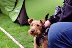 Welsh terrier at show of racial dogs. Welsh terrier at the show of racial dogs royalty free stock photos