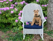 Welsh Terrier Sitting On Chair In Garden Royalty Free Stock Image