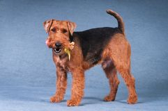 Welsh terrier at studio Royalty Free Stock Images