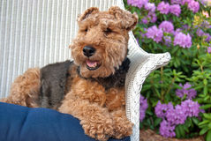 Welsh Terrier in a wicker chair Stock Photos