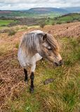 Welsh wild pony. In the Brecon Beacons National park with Black mountains in the background. Wales, UK, April Stock Image
