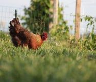 Welshmen chicken hen Stock Images