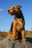Young welshterrier Royalty Free Stock Image
