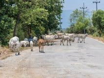 3. Welt der Kuh und des Kalbs Stockfotografie
