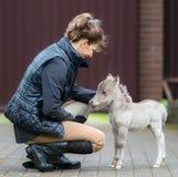 Welt-` s kleinstes Pferd Kleines Fohlen, das gerade 31 cm hoch misst Stockbild